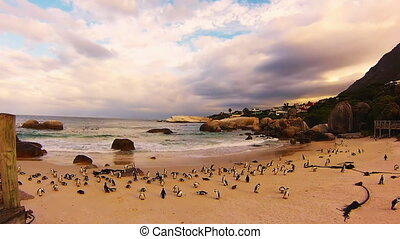 African penguin colony at Boulder Beach, Simons Town near...