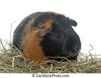 guinea pig on hay - guinea pig in front of white background