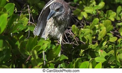 Yellow-crowned Night Heron Profile Close-up - Yellow-crowned...