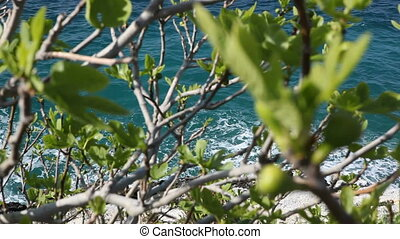 Figs in summer - Figs on the wild fig tree in summer against...