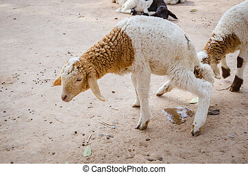 Lamb Urinating - dirty young lamb Urinating A young lamb was...