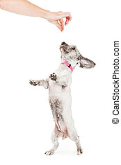 Little Dog Dancing For a Treat - Small mixed breed dog...