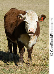Pole Hereford - A Pole Hereford breed of cattle