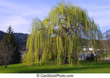 Weeping willow tree. - A willow tree in a park near the...