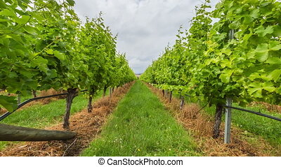 Vineyard field moving - Vineyard field in the area between...