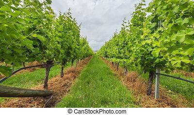 Vineyard field moving - Vineyard field in the area between...