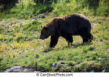 Grizzly Bear in the Wild - Grizzly bear heading down hill...
