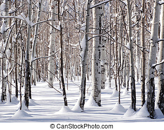 Winter Amongst The Aspens - Standing amongst snow coated...