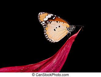 butterfly Danaus Chrysippus - Danaus Chrysippus butterfly on...