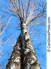 twisted birch tree trunks and blue sky