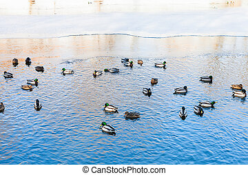 ducks float in clearing of frozen lake in winter - ducks...