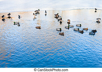 ducks float in clearing of frozen river in winter - ducks...