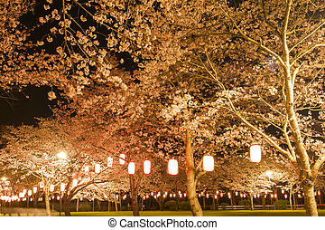 Cherry blossoms at night - Full blossoming cherry blossoms...