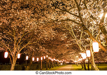 Cherry blossoms at night - Footpath between cherry blossoms...