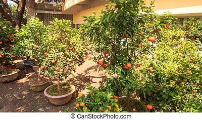 Tangerine-trees in Pots on Market Place in Vietnam -...