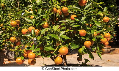 Large Tangerine-tree in Pot on Market Place in Vietnam -...