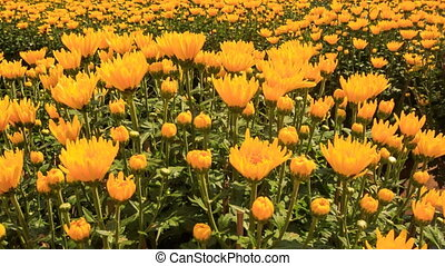 Closeup Yellow Chrysanthemums Plantation in Vietnam -...