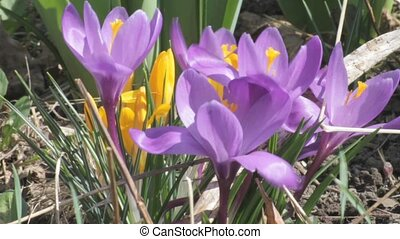 Spring Crocus - Pan ground level spring crocus