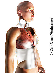 3d Human Respiratory System rendered illustration