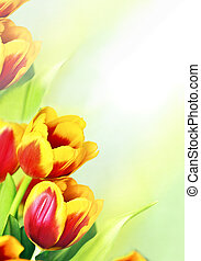 Tulip - Decorative garden perennial festive spring flower is...