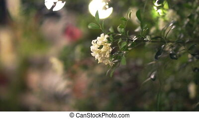 white flower jasmine garden night - white flower jasmine in...