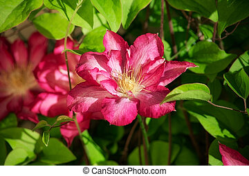 clematis - Beautiful flower clematis in the garden. close-up