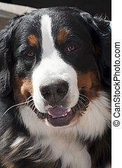Bernese Mountain Dog - Stock photo of Bernese Mountain dog