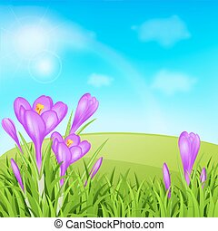 Violet crocuses and green grass - Spring background with...