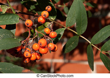 rowanberry on the tree, brick wall background