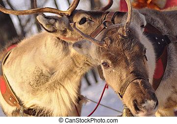 reindeer love - love is everywhere, reindeer couple gets...