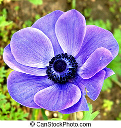 Ramat Gan Park the purple Crown Anemone 2011 - Thepurple...