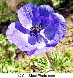 Ramat Gan Park the purple Crown Anemone flower 2011 -...