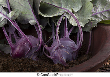 Fresh kohlrabi - Ripe fresh kohlrabi in wooden bowl with...