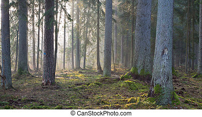 Coniferous stand of Bialowieza Forest in morning with pine...