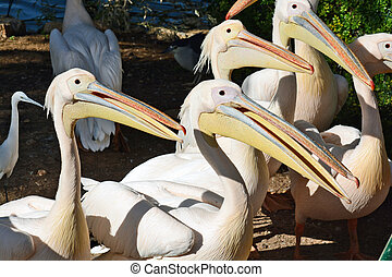 Pelecanus onocrotalus in the Zoological Center of Tel...