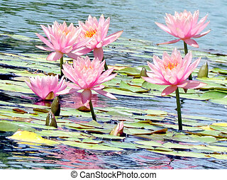 Ramat Gan Wolfson Park pink lotus flowers 2011 - The pink...