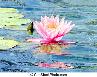 Ramat Gan Wolfson Park pink lotus flower 2011 - The pink...