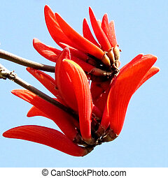 Ramat Gan Wolfson Park Coral Tree flower 2012 - The red...
