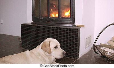 Dog lying in front of fireplace - beautiful young dog...