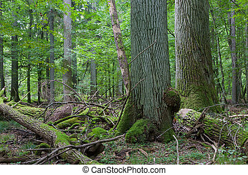 Two giant old oaks - Two giant oaks in natural forest and...