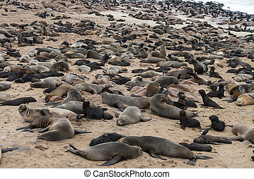 Fur Seal colony at Cape Cross Namibia - Fur Seal colony at...