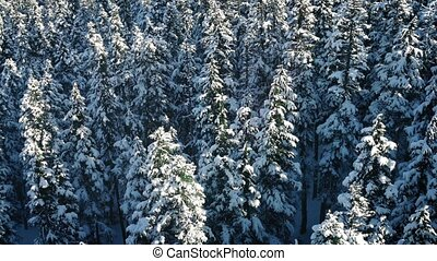 Flight Over Snowy Evergreen Trees - Flying slowly above tall...