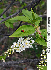 Flowers bird cherry