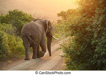 African Elephant in the sunrise - African Elephant walking...