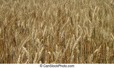 Golden Wheat Field - Golden wheat field blowing