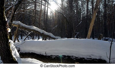 Fallen logs in winter forest at sunrise