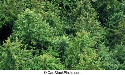 Flying Over Tree Tops - Aerial view of huge pine trees in an...