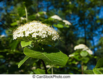 Viburnum lantana flowers in evening sunlight