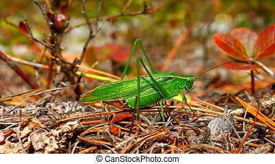 Fork-tailed Bush Katydid (Scudderia furcata) gets spooked by...