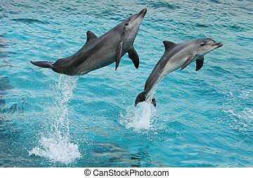 Dolphins Jumping - Bottlenose dolphins jumping out of the...